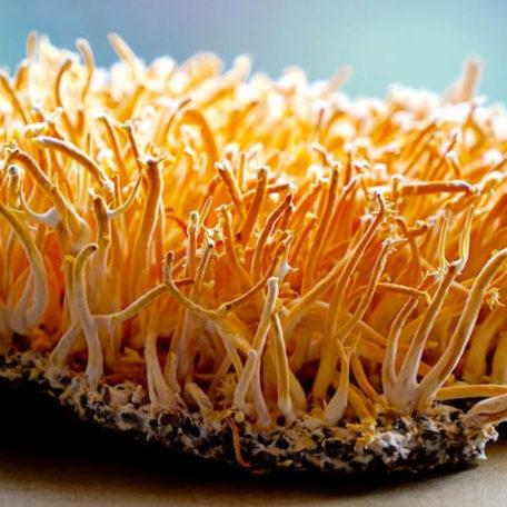 E Cordyceps Militaris Mushroom