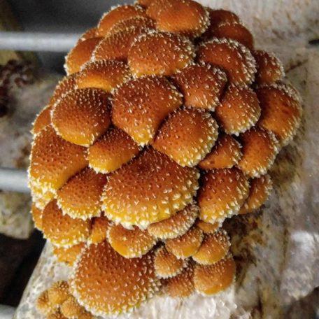 chestnut mushroom grow kit